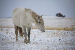 Cavalo selvagem no campo do inverno imagem de stock royalty free