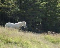 Cavalo selvagem no Chile Fotos de Stock