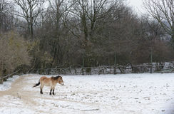 Cavalo selvagem no inverno Fotografia de Stock