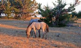 Cavalo selvagem no por do sol - Roan Colt azul em Tillett Ridge nas montanhas de Pryor de Montana EUA fotos de stock