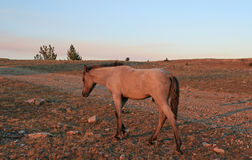 Cavalo selvagem no por do sol - Roan Colt azul em Tillett Ridge nas montanhas de Pryor de Montana EUA fotos de stock royalty free