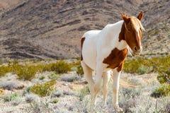 Cavalo selvagem ocidental Fotografia de Stock