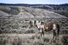 Cavalo selvagem Picasso de bacia de lavagem da areia Imagem de Stock Royalty Free