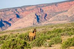 Cavalo selvagem que come a grama no vale do monumento, o Arizona Fotos de Stock Royalty Free
