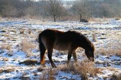 Cavalo selvagem que come o café da manhã frio Imagens de Stock