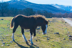 Cavalo selvagem que pasta Fotografia de Stock Royalty Free
