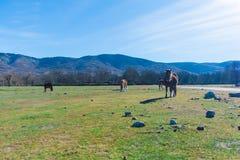Cavalo selvagem que pasta Imagem de Stock Royalty Free