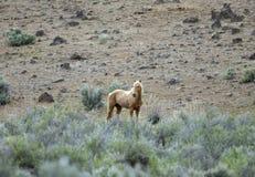 Cavalo selvagem solitário Foto de Stock