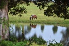 Cavalo solitário Imagens de Stock