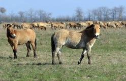 Cavalo-tarpan selvagem Fotografia de Stock