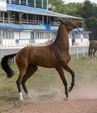 Cavalo teimoso imagem de stock