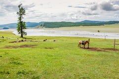 Cavalo tethered solitário, Mongólia do norte Fotografia de Stock