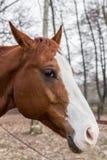 Cavalo triste Imagem de Stock