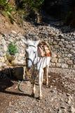 Cavalo usado para transportar turistas cansados em Samaria Gorge na Creta central Imagem de Stock
