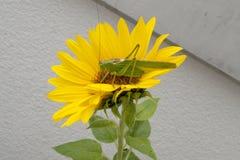 Cavalo verde do feno, gafanhoto da folha do gafanhoto no girassol amarelo Imagens de Stock Royalty Free