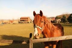 Cavalo vermelho Fotos de Stock Royalty Free