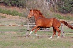 Cavalo vermelho. Foto de Stock Royalty Free
