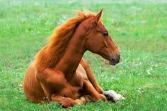 Cavalo vermelho bonito Foto de Stock
