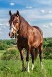 Cavalo vermelho bonito em um campo do verão Imagens de Stock