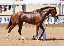 Cavalo vermelho do puro-sangue na concessão após uma raça Fotografia de Stock