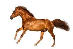 Cavalo vermelho isolado Foto de Stock Royalty Free