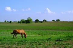 Cavalo vermelho no campo Fotos de Stock Royalty Free