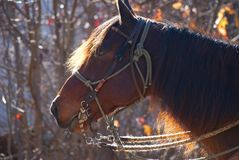 Cavalo vermelho no sol da manhã Fotos de Stock