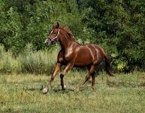 Cavalo vermelho que corre através do campo Fotografia de Stock