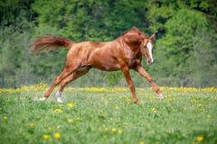 Cavalo vermelho que galopa no campo verde Foto de Stock