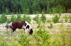 Cavalo vermelho que pasta em um campo com flores Imagens de Stock Royalty Free