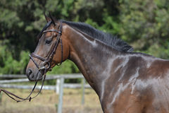 Cavalo - vista lateral Imagem de Stock Royalty Free