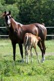 Cavalos árabes do puro-sangue bonito que pastam no verão do pasto Fotos de Stock Royalty Free