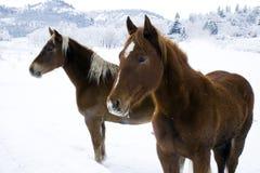 Cavalos imagem de stock