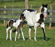 Cavalos 63 Imagem de Stock