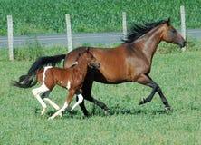 Cavalos 105 Imagem de Stock Royalty Free