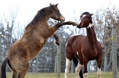 Cavalos 112 Imagem de Stock