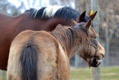 Cavalos 113 Fotografia de Stock Royalty Free