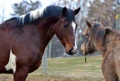 Cavalos 114 Imagem de Stock