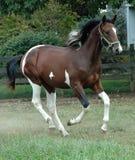 Cavalos 116 Fotografia de Stock Royalty Free