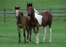 Cavalos 131 Foto de Stock Royalty Free