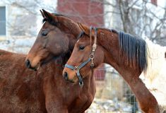 Cavalos 132 Fotografia de Stock
