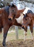 Cavalos 133 Fotos de Stock Royalty Free