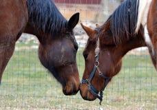 Cavalos 135 Foto de Stock Royalty Free