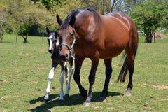 Cavalos 200 Foto de Stock