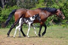 Cavalos 201 Foto de Stock Royalty Free