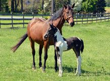 Cavalos 211 Foto de Stock