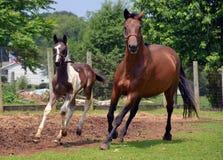 Cavalos 301 Imagem de Stock Royalty Free