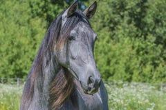 Cavalos Fotografia de Stock
