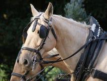 Cavalos Foto de Stock