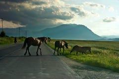 Cavalos aciganados Foto de Stock